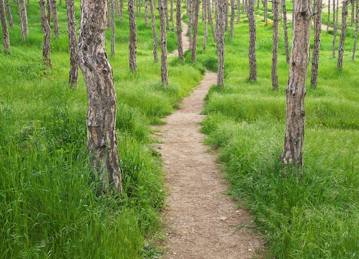 Spruce path road lane.