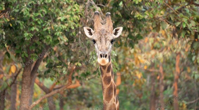 Close up of a giraffe head