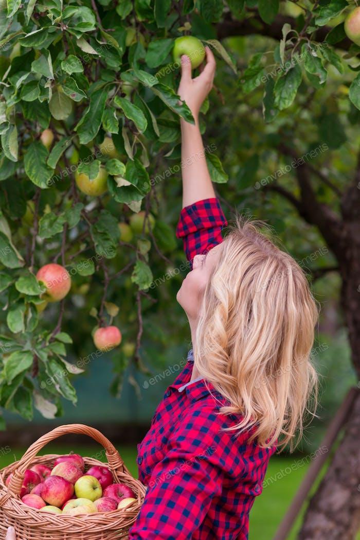 Beautiful woman harvesting apples