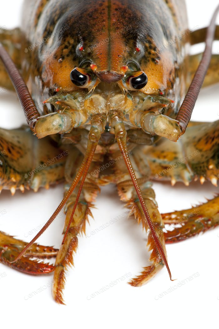 Close-up of American lobster, Homarus americanus, in front of white background