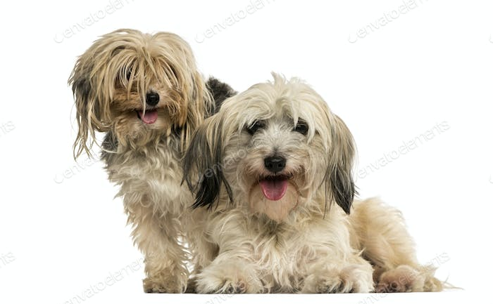 Shih tzu and Yorkshire terrier panting, isolated on white