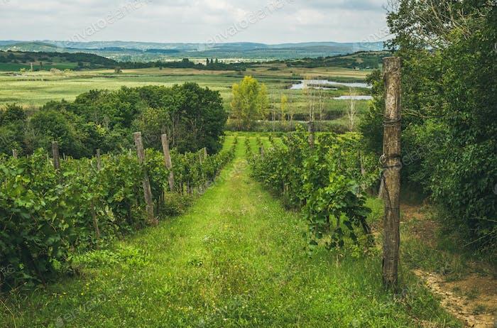 Weinberge in der Halbinsel Tihany am Plattensee, Ungarn