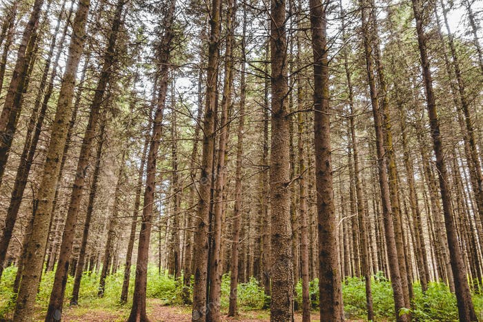 Heat Wave and waterless Period in evergreen forest.