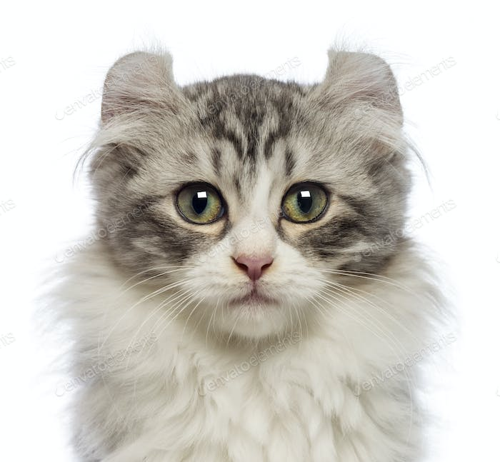 American Curl kitten, 3 months old, looking at the camera in front of white background