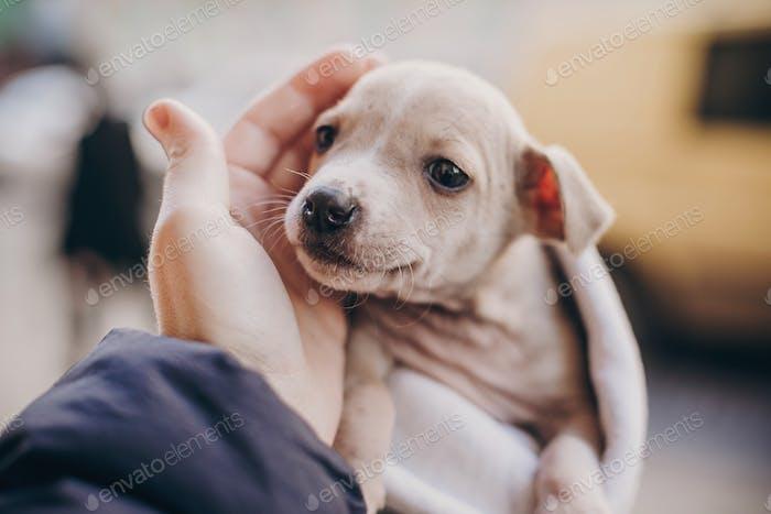 Cute little staff terrier puppy in cozy warm blanket in autumn park