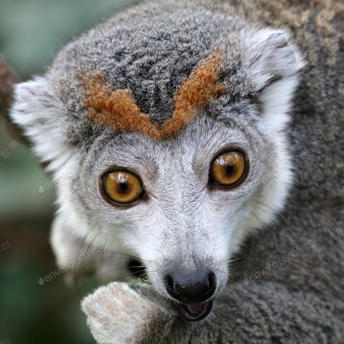 Lemur coronada Mujer