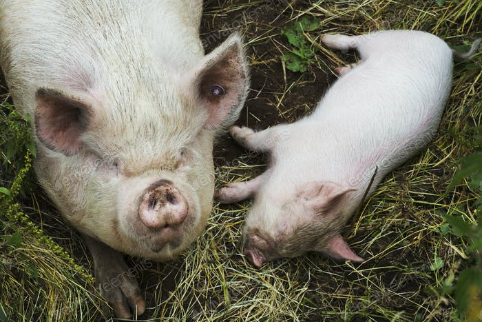 Pigs raised in free range open air conditions on a farm.