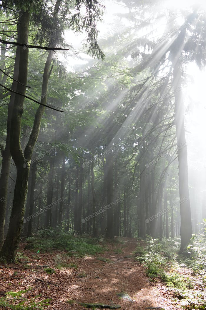 Early morning in the forest - sun rays