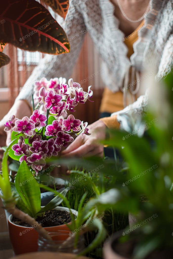 The woman caring for orchid flowers vertical
