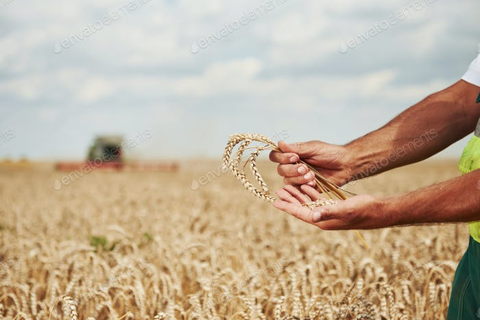 Man's hands holds pod of wheat. Combine harvester behind in the field