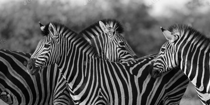Three Common Zebra grooming in black and white