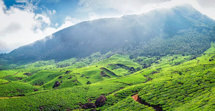 Panorama of green tea plantations