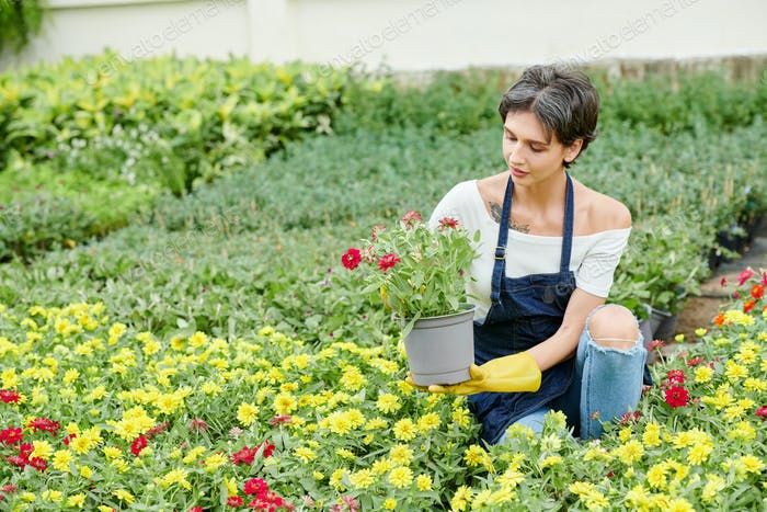 Female gardener pricking out blooming flowers