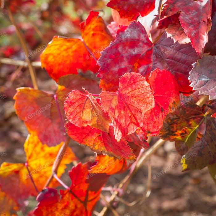 Red Vine Leaves
