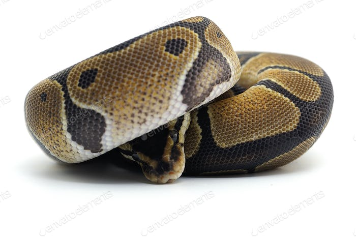 Snake Ball python isolated on white background