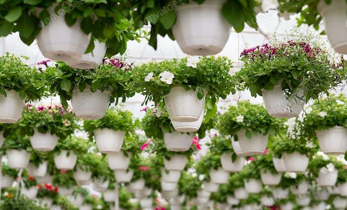 Growing flowers for sale in orangery in morning