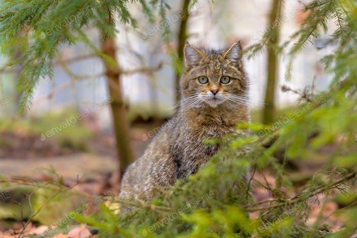 Cute close up of European wild cat