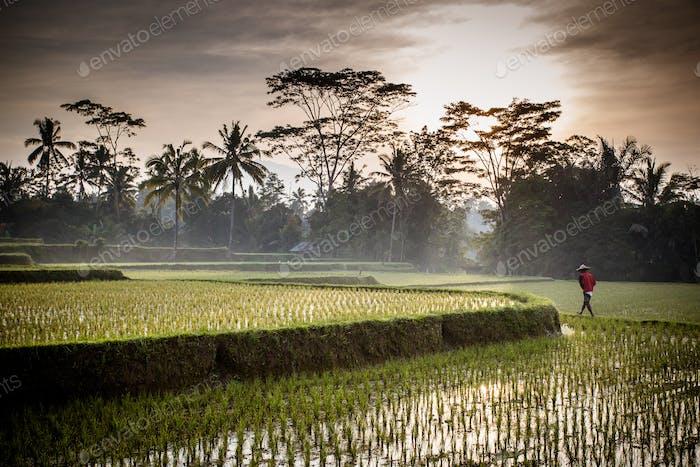 Campos de arroz de Bali