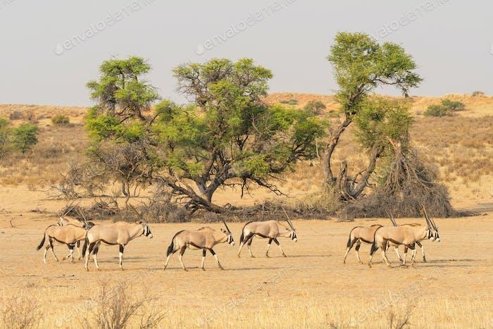 Gemsbok Herd