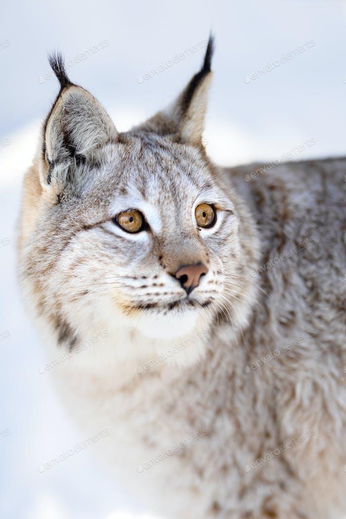 Closeup of alert brown lynx looking away