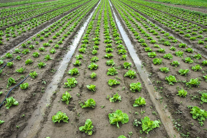 Thumbnail for Iceberg lettuce plantation. Irrigation canals with water.