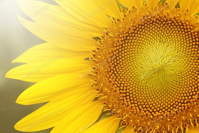 Nahaufnahme von Sonnenblume auf Pflanze