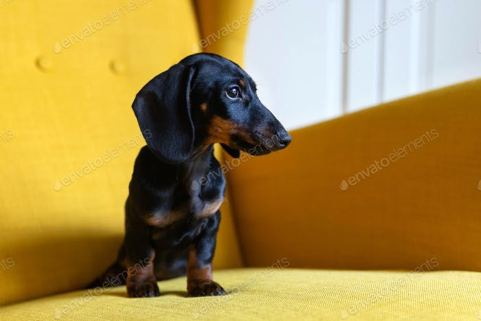 Cute puppy of dachshund