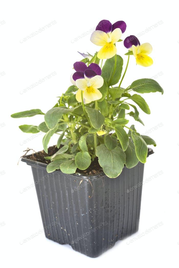 viola plant in studio
