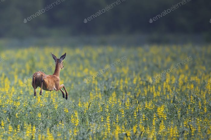 Roe deer in the run