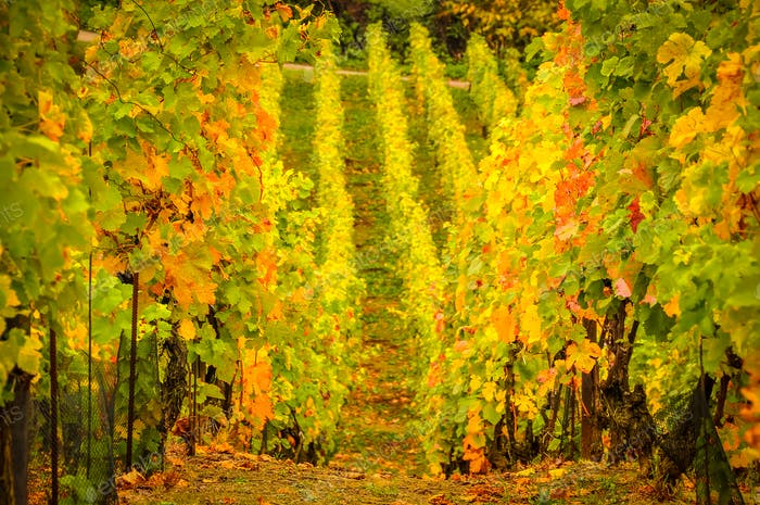 Landscape view of beautiful vintage vineyards with vivid colorful foliage