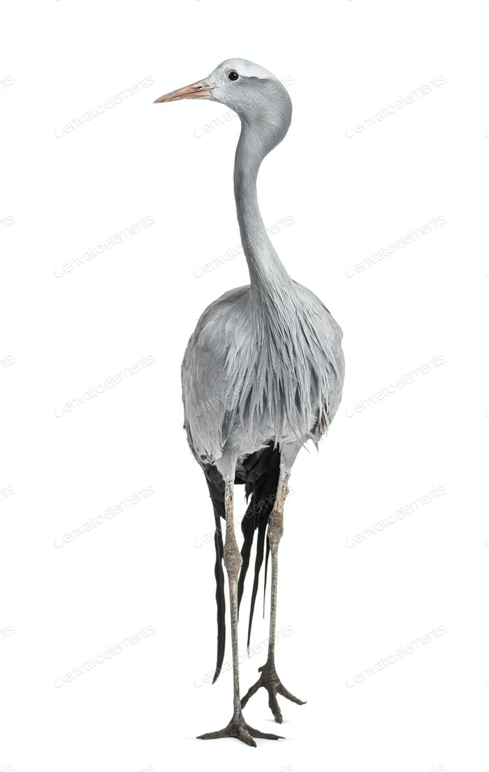 Blue Crane, Grus paradisea