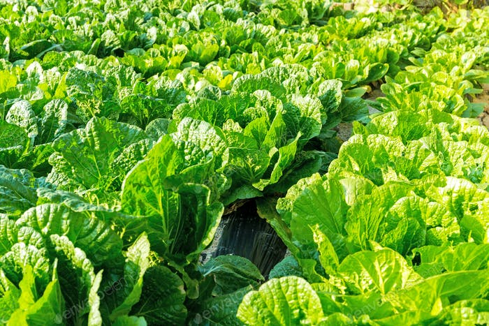 Fresh lettuce in the field