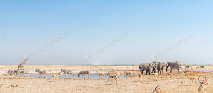 Elephant, giraffe, Burchells zebras, springbok, blue wildebeest at a waterhole