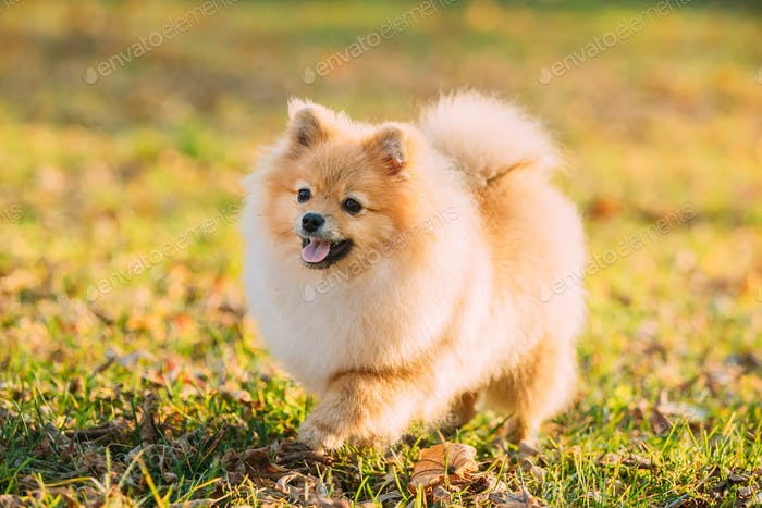 Funny Young Red Puppy Pomeranian Spitz Puppy Dog Happy Play Outd