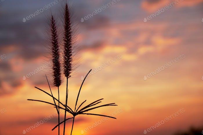 Fountain grass with dusk cloudy sky