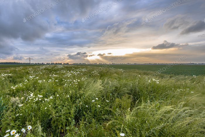 Open countryside with white daisy flowers