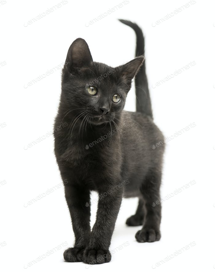 Black kitten standing, looking away, 2 months old, isolated on white