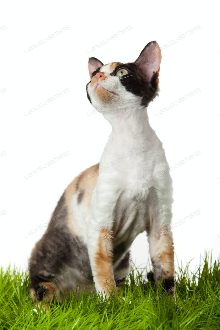 Devon Rex cat in the grass. isolatet on white.