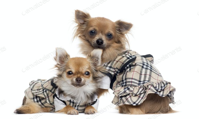 Two dressed up Chihuahuas next to each other, isolated on white