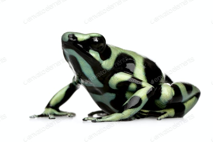 green and Black Poison Dart Frog - Dendrobates auratus
