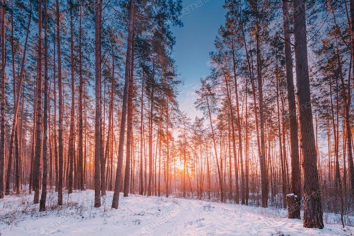 Sunset Sunrise Sun Sunshine In Sunny Winter Snowy Coniferous For