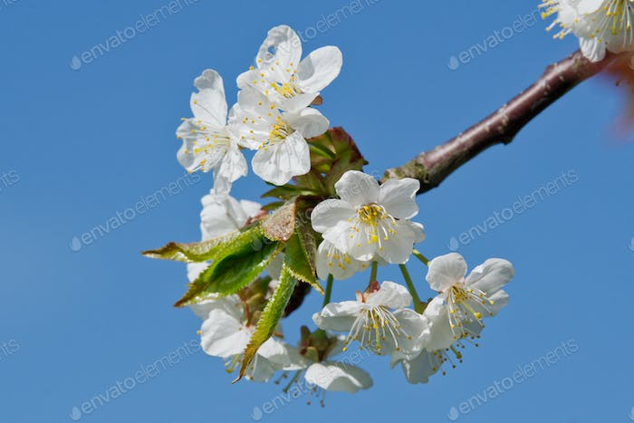 Beautiful flowering fruit trees. Blooming plant branches in spring warm bright sunny day