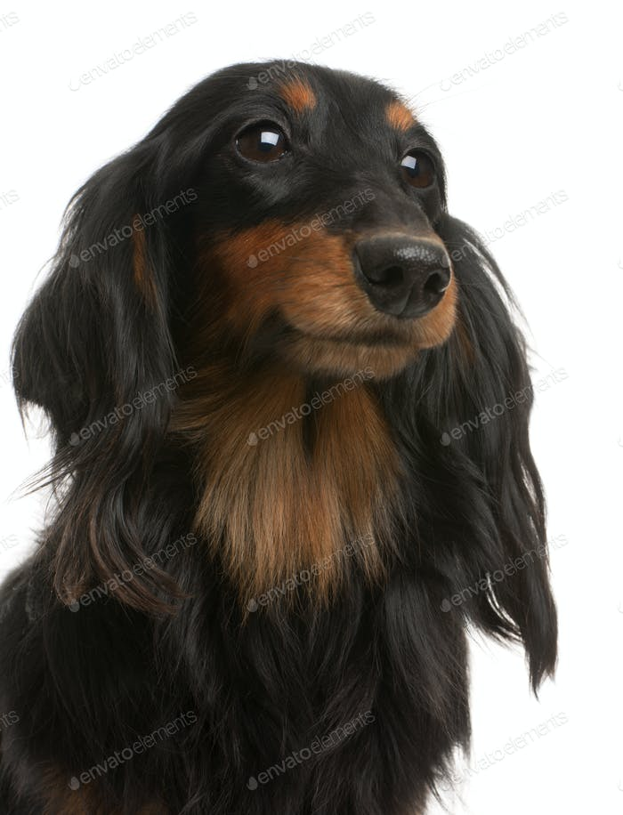 Close-up of Dachshund, 4 years old, in front of white background