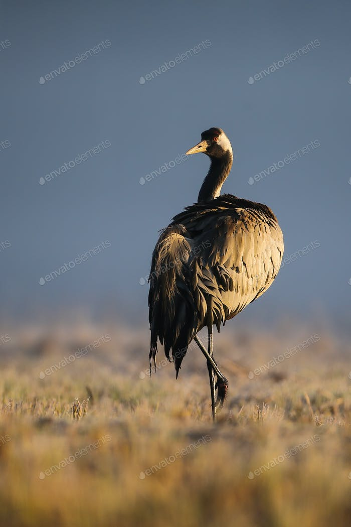 Common crane standing on one leg in autumn morning