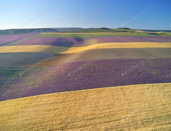 Agrecultural aerial view on meadow of wheat and lavender.