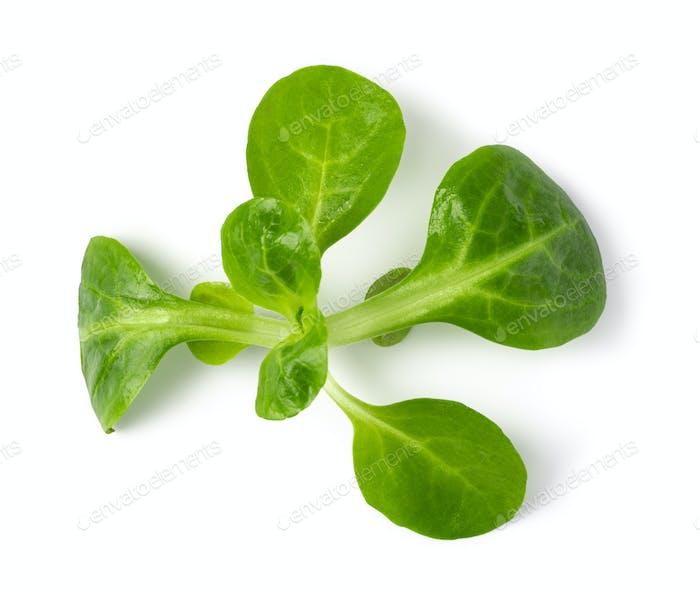 Corn Salad Leaves