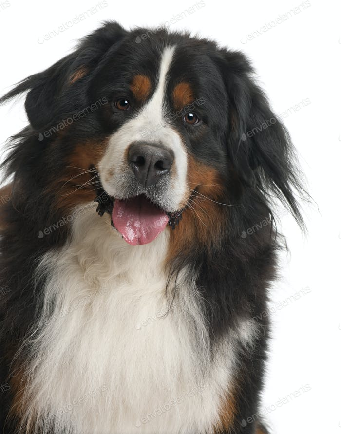 Bernese Mountain Dog, 3 years old, in front of white background