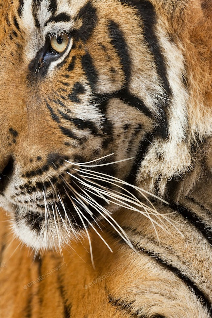 Close up of a tigers head, fur pattern, whiskers and eye.