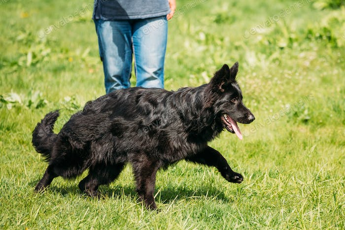 Black German Shepherd Dog Sit In Green Grass. Alsatian Wolf Dog