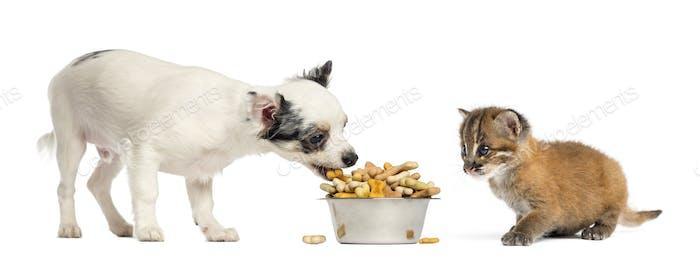 Chihuahua Welpen essen aus einer Schüssel und asiatische goldene Katze, isoliert auf weiß